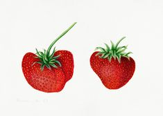Vintage strawberries illustration mockup. Digitally enhanced illustration from U.S. Department of Agriculture Pomological Watercolor Collection. Rare and Special Collections, National Agricultural Library. | premium image by rawpixel.com / Donlaya Strawberry Leaves, Strawberry Flower, Free Illustrations, Vintage Images, Royalty Free Photos, Agriculture, Grape Vines, Free Design, Free Images