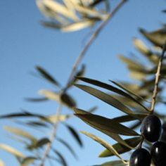Olives in Jaén - Andalucía, Spain.