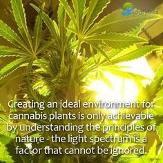 Creating an ideal environment for #cannabis #plant is only achievable by understanding the principles of nature - the light spectrum is a factor that cannot be ignored.   #Leafygills #GrowCoaching #Indoor #Outdoor #consulting #aquaponics #gardening #Medicine