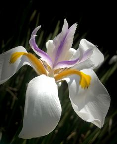 Winged Lily