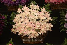 Lovely scented Sweet Pea - Diamond Jubilee    Duftende ærteblomst diamond jubilee