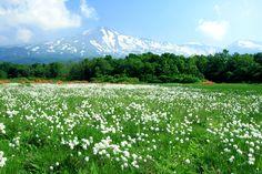 桑ノ木台湿原のワタスゲ-桑ノ木台湿原では、鳥海山を望みながらのトレッキングを楽しめ、6月中旬には、白い小さな綿帽子を茎の先につけたワタスゲが群生します。  Kuwanokidai Damp Plain