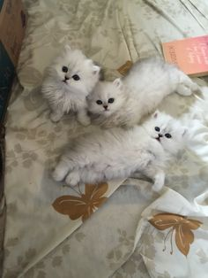 Persian Cat Gallery - Cat's Nine Lives Cute Cats And Kittens, Baby Cats, Kittens Cutest, Kitten Love, I Love Cats, Fluffy Cat, Beautiful Cats, Cat Breeds, Cute Baby Animals