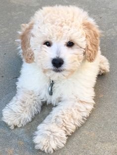 Mini Goldendoodle                                                                                                                                                                                 More