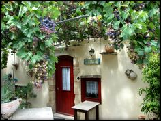 'Stretch your hand and reach the grape' - convenience vineyard in front of the house n Vamos village, Crete in September