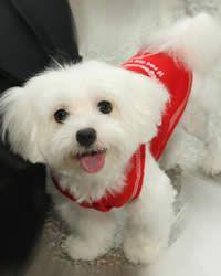 Poodle maltese characteristics