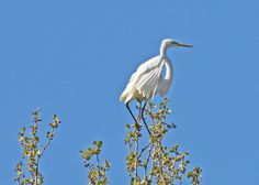 Great egret | photo by volunteer Jerry Cannon | at Bath Road Heronry near Hampton Hills Metro Park