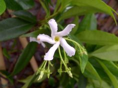 Whether you're growing jasmine indoors or outside in the garden, you may be concerned when you find your jasmine not flowering. Read this article to find out why you're growing a jasmine with no blooms.