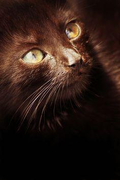 "♀ Chocolate brown cat ""Sun Eyes"" by Minori B"