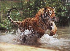 Eindrucksvoll: BBC Earth - Bengalischer Tiger