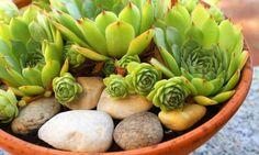 Las echeverias pueden ser una alternativa perfecta para tener jardineras en el balcón que necesitan pocos cuidados. Por ello, en esta ocasión os mostramos cómo realizar una