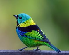 Another Green-Headed Tanager