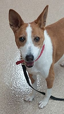Adopt Zigzag who trots and skips around playfully and is a very sweet senior girl. See more at basenjirescue.org