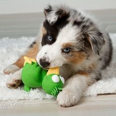 Blue Merle Aussie Puppy. My future doggie <3