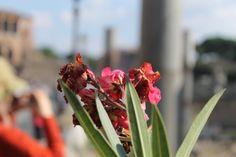Bright flowers color the road linking the Colosseum and Piazza Venezia - Via dei Fori Imperiali in Roma, Lazio