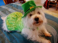 Happy #TerrierTuesday!  Check out our spring polishes at https://www.etsy.com/shop/TawdryTerrier. #tawdryterrier #stpatricksday #westie #dog #westhighlandwhiteterrier