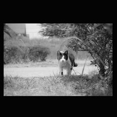 https://flic.kr/p/sWfjtV   Cat May 2015 #cat #smallcats #blackandwhitephotography