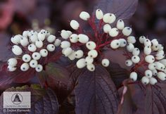 Cornus alba 'Siberian Pearls' - Dereń biały 'Siberian Pearls' - Szkółki Kurowscy