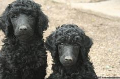 AKC Standard poodle puppy.  These look like my puppies minus the closely shaved faces.