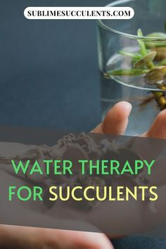 Wondering what is water therapy for succulents? Water therapy is a somewhat controversial method of helping succulents recover from stress or damage primarily from severe dehydration. The process involves removing all traces of dirt from the plant's roots and submerging the roots in water for a certain period of time, usually between 24 and 72 hours. Check this pin for full guide! #watertherapy #succulents #gardening What Is Water, Succulent Care, Replant, Drought Tolerant Plants, The More You Know, Stressed Out, Water Plants, Types Of Plants, Life Savers