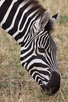 Zebra in Masai Mara, Kenya, Africa. Beautiful Creatures, Animals Beautiful, Cute Animals, African Animals, African Safari, Zebras, Giraffes, Elephants, White Horses