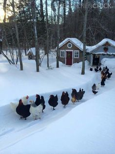 Chickens in the snow make me smile! Farm Animals, Animals And Pets, Funny Animals, Cute Animals, Animals In Snow, Beautiful Birds, Animals Beautiful, Chickens And Roosters, Winter Chickens