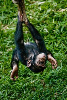 Swinging upside-down Chimp by Evan Animals, via Flickr