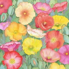 Iceland poppies; P. Townsend