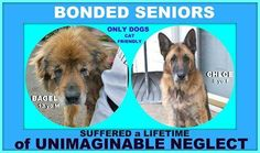***3/6/17 3/3/17 STILL LISTED ~ SEVERE LONG TERM NEGLECT! Meet Bagel, an adoptable Chow Chow looking for a forever home. • Senior • Male • House trained* Neutered * Road to Home Rescue Support Wantagh, NY