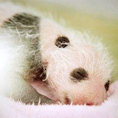 Neonatal panda cub