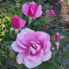 Roses at High Country Roses. Hardy, high-quality own root rose bushes including heirloom roses, Canadian roses, Rugosa roses and climbing roses. Landscaping With Roses, Backyard Landscaping, Earth Song, Heirloom Roses, Shrub Roses, Pink Blossom, Climbing Roses, Shrubs, Outdoor Gardens