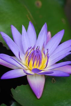 Tropical Water Lily, Just saw some of these at Ladew Gardens, MD.