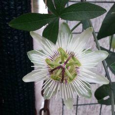 """Résultat de recherche d'images pour """"passiflora caerulea con. elliott"""""""