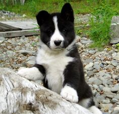 The Karelian Bear Dog (KBD) is really a Finnish or Karelian breed of dog. Description from notinthedoghouse.com. I searched for this on bing.com/images
