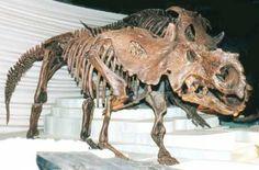 Les Dinosaures: Pachyrhinosaurus - Frawsy