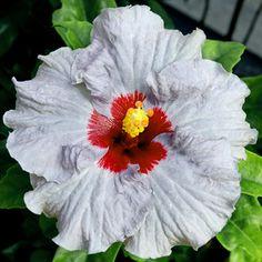 Tropical Hibiscus 'Johnny Reb'