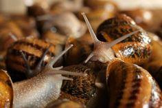 Ferma ślimaków Snails Garden w Krasinie koło Pasłęka. (tw/mr) PAP/Tomasz Waszczuk