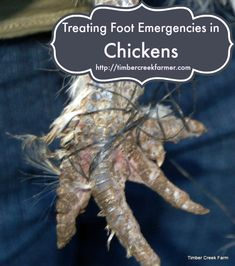 Treating foot injuries in chickens, what to look for, what to use, and when to seek further care.Foot injuries in chickens can happen at any time