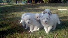 1000+ images about Great Pyrenees Dogs on Pinterest ...