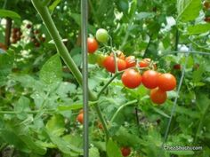 Grow Organic, Vegetarian Recipes, Improve Yourself, Home And Garden, Articles, Gardening, Vegetables, Cooking, Food