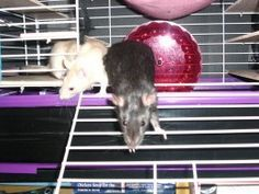 Dress for pet rat swelling around asshole sex photo massive