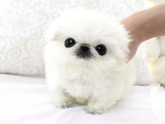 Micro teacup peke available. So tiny and cute, beautiful thick coat, fabulous short face and high quality. He is amazing and so cute. Estimating to be 3 to 3 1/2  pounds full grown and so cute. Dont miss out on him. Too cute! He was born 04/28/13.