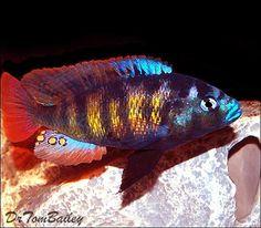 Pundamilia Nyererei, Featured item 10/08. #cichlid #fish #petfish #aquarium #freshwater #featureditem
