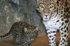 """An Amur leopard cub named Sochi was revealed to visitors at the Denver Zoo. Born on Dec. 3, 2013, the young male cub was named after the Russian city hosting this year's Winter Olympic games. Because of poaching, loss of habitat, and trophy hunting, the species is one of the most threatened in the world, with """"Only 30 Individuals Remaining in the Wild"""", mostly in the mountains adjacent the China-Russia border. (Photo: Courtesy of Denver Zoo)"""