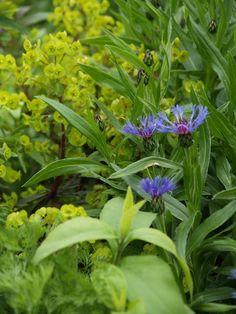 Euphorbia and Centaurea. Photo: 2009-05-27