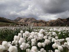 Cotton Grass, Iceland. Photograph by Jennifer Jesse