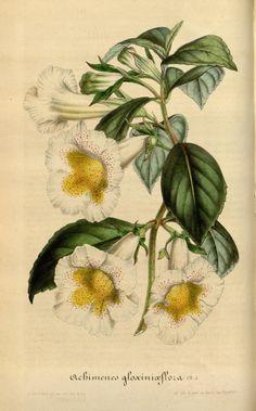 Achimenes gloxiniæflora