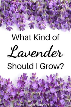 Not sure what kind of lavender you should grow? Read about the best kind of lavender to grow, such as English and Spanish, as well as companion plants that grow well with lavender, such as roses. Don't forget to check out the recipes at the bottom of the post! #lavender #growlavender #companionplants #lavenderandroses Lavender Uses, Dried Lavender Flowers, Growing Lavender, Lavender Sachets, Growing Flowers, Gardening For Beginners, Gardening Tips, Organic Gardening