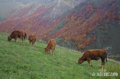 Vacas asturianas de los valles en La Peral, Somiedo.