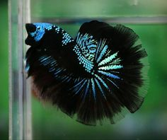 A website dedicated to betta fish and betta keepers. Tell us all about your betta and become a part of our community, we'd love to hear from you! Pretty Fish, Cool Fish, Beautiful Fish, Animals Beautiful, Colorful Fish, Tropical Fish, Poisson Combatant, Aquariums, Guppies